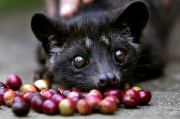 Coffee Facts: What is Kopi Luwak?